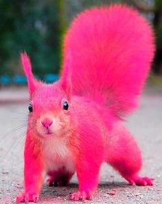 Pink Squirrel
